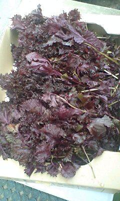 紫蘇ジュースの効能と作り方